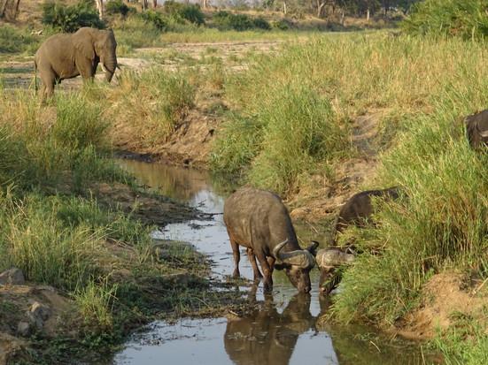 elephant and buffalos at water
