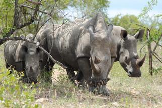 Impressive Rhinos.JPG