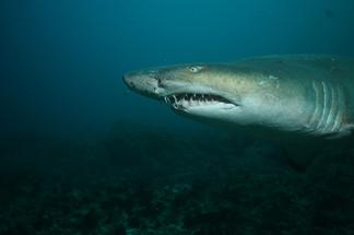 Ragged-Tooth Sharks.JPG