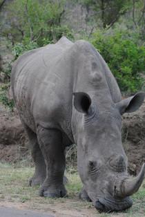 rhinos gazing around