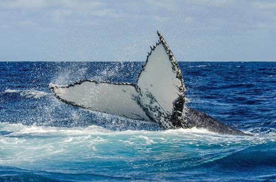 pec slapping whale