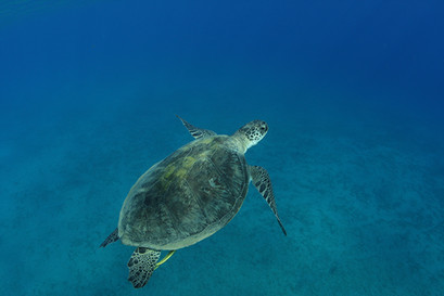 Dive or snorkel with Turtles.JPG