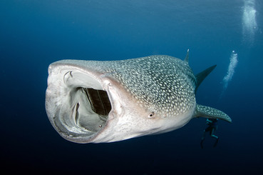 snorkel or swim with Whale Sharks.jpg