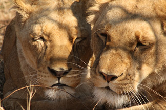 Lions being lazy in the hot sun