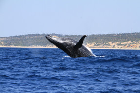 Breaching Humpback Whales around the sur