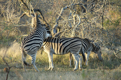 zebras playing around