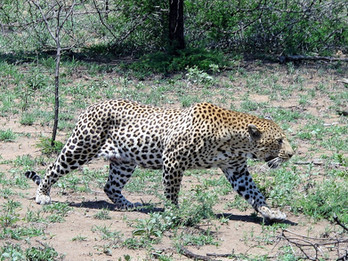 Leopard sightings.jpg