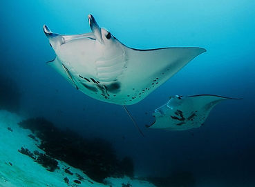 Dive reefs with Manta Rays around you