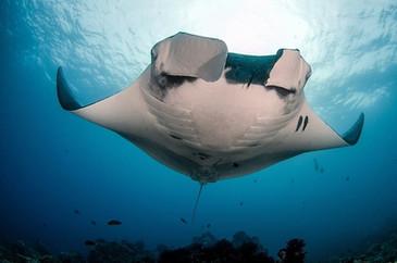 Giant and Reef Mantas.jpg