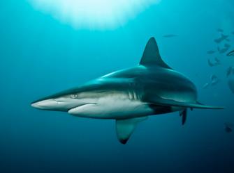 Encounter Black Tip Sharks.jpg