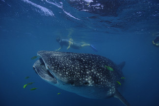 Snorkel and swim with Whale Sharks.JPG