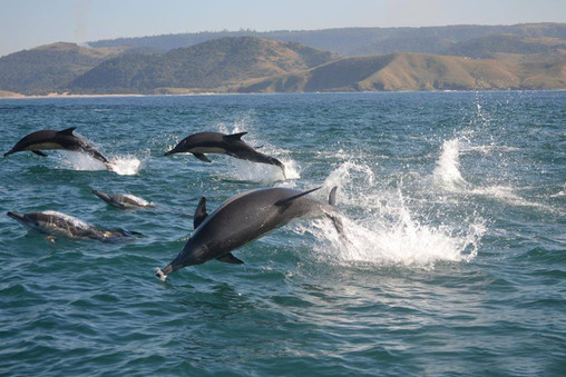 dolphins on the surface at sardine run