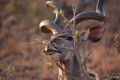 Kudu sighting around sunset.jpg