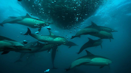 dolphins in the bait ball