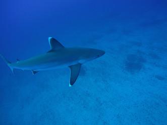 Curious White Tip Sharks.JPG