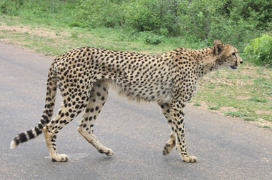 sightings of Cheetahs on the road.JPG
