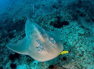 dive with the rare Bowmouth Guitarfish.j