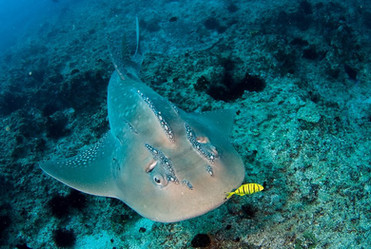 Dive with the rare Bowmouth Guitarfish