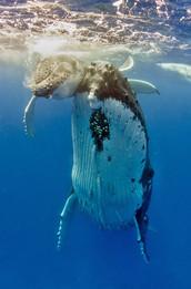 Seasonal Humpback Whale sightings.jpg