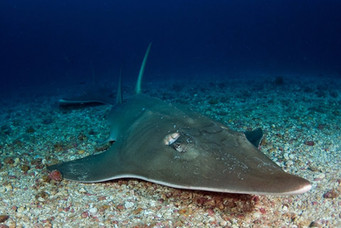 Reef dives with Guitarfish.jpg
