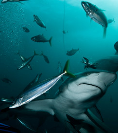 Up Close sightings of Sharks.jpg