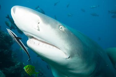Close sightings of Sharks.jpg