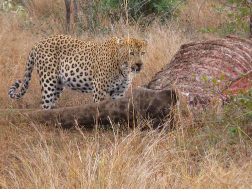 a leopard on a giraffe carcass
