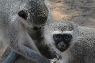 Sport the lovely Vervet Monkeys