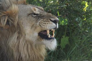 Proud Lions.JPG