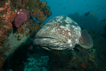 Big and fascinating Groupers.jpg