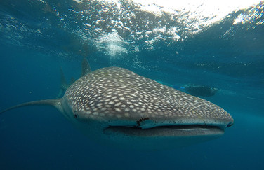 Swim and snorkel with Whale Sharks