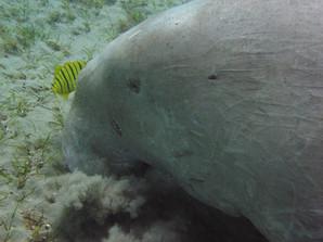 Dugong encounters.jpg