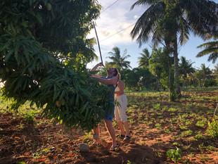 Getting the fresh Mangoes down.JPG