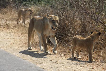 Sightings of beautiful lions.JPG
