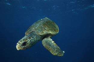 Dive and snorkel with Turtles.JPG