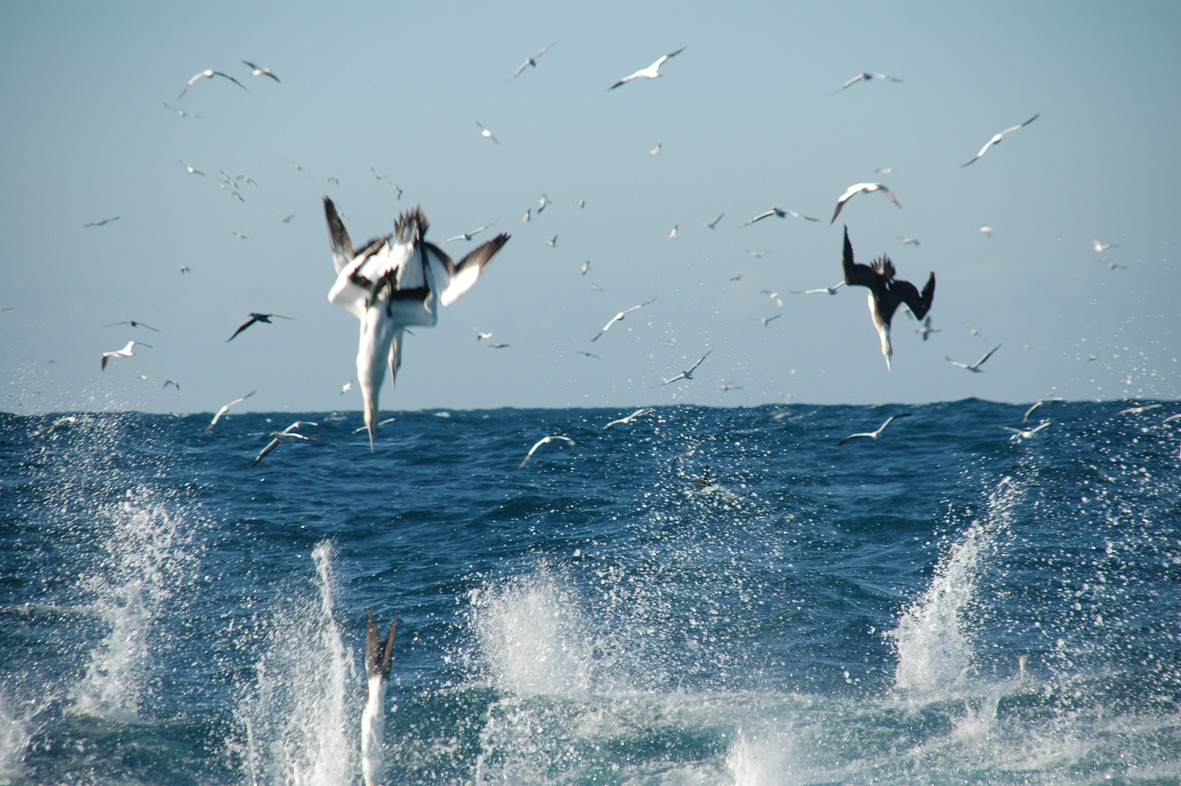 Gannets at the Surface