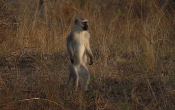 the velvet monkey