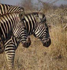 Spot Zebras on your safari.jpg
