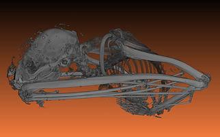 bat ct scan showing skeleton