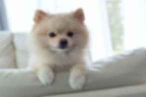pomeranian-on-couch-hero.jpg