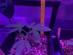 indicavarietyofcannabismeasuring5inchestall.jpg