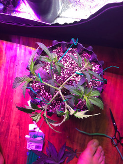 cannabisplantundergoinglightstresstraining.jpg