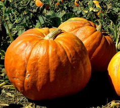Top 5 Pumpkin Patches in Guelph