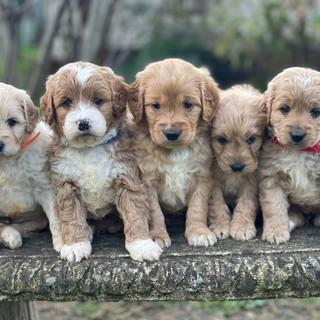 Spoodle Puppy