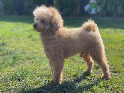 Baxter - Toy Poodle