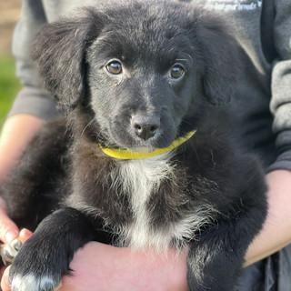 Aussiedoodle Puppies