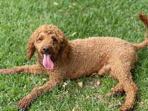 Colin - Medium Poodle