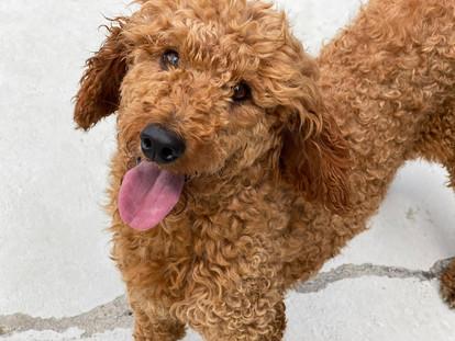 Ben - Medium Poodle