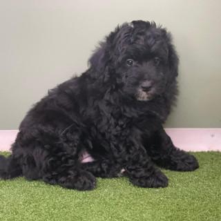 Bordoodle puppy