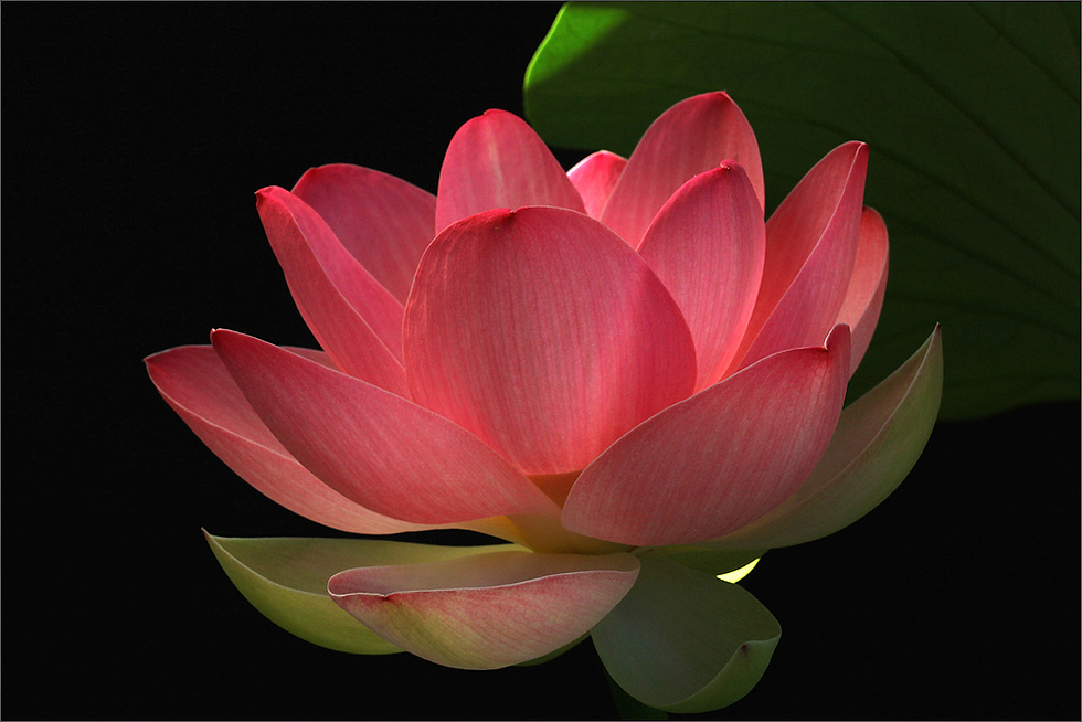 lotus-orig.png